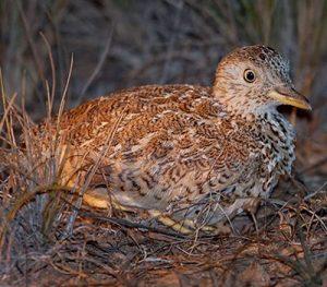 stubble-quail-cr-peter-hylands