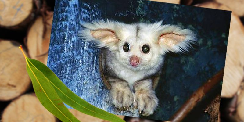 greater-glider-petition-image-credit-Hans-and-Judy-Beste