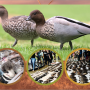 awpc-duck-SEASON-feature-may2020