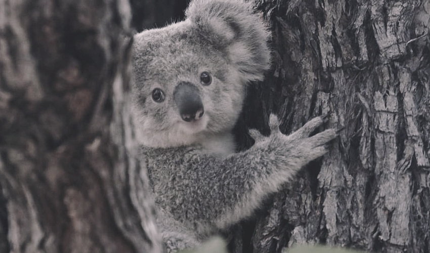 Koala-tree-mid-nth-coast-NSW-supplied_Pat-Durman