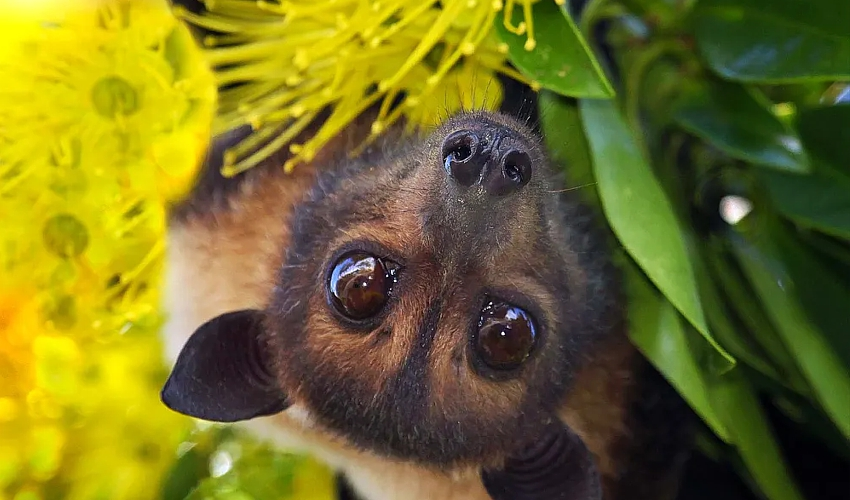 spectacled-flying-fox-InigoMerriman_Conversation_July2020