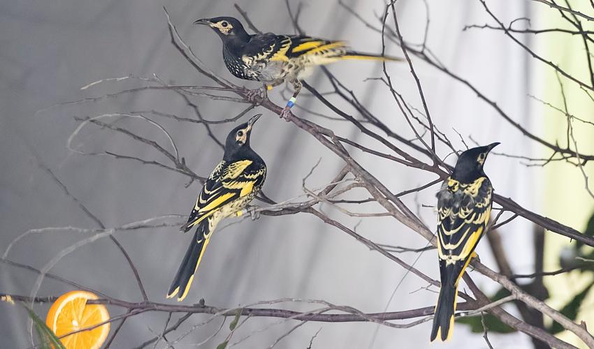 Regent-honeyeater-via-BirdlifeAustralia