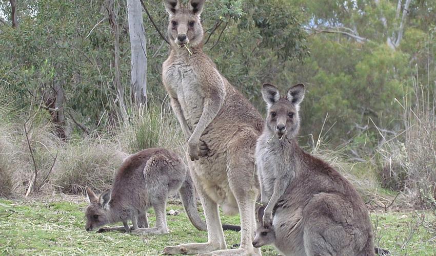 kangaroo-family_by_MariaTaylor