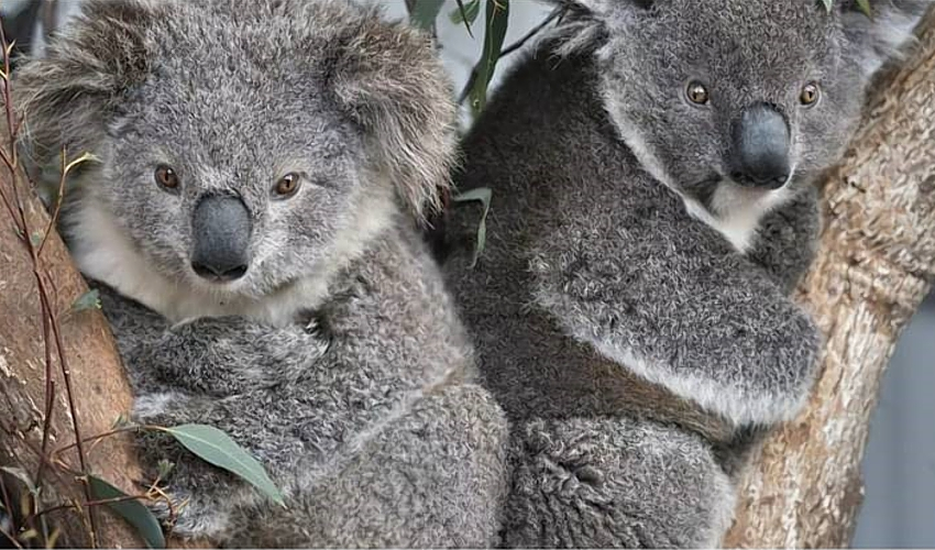koalas-Jessie-Amelia-source_ifaw