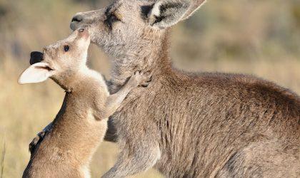 canberra-kangaroo-cull-2021-crBrettClifton