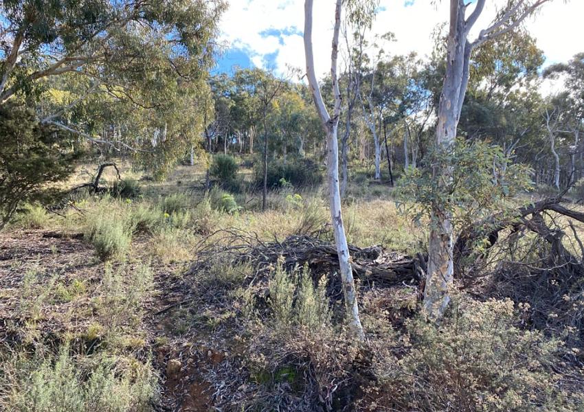 Majura-woody-grassland-2021-cull