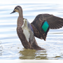 duck-shooting-ROVATDS-facebook