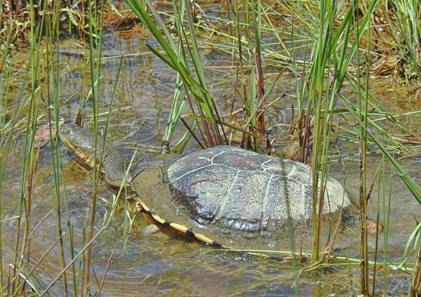 freshwater-turtle-cr-Carol-Lynn