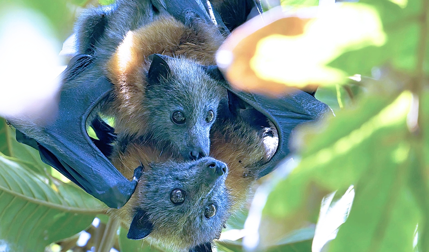 Grey_headed_flying_fox_with_pup_AndrewMercer_wikipedia-CC-by-SA-4.0